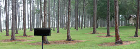 Panorama of pine trees. Panoramic view of pine tree trunks and green grass royalty free stock photo