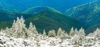 Panorama of pine trees in snow mountains. Over sunny hills Royalty Free Stock Photography
