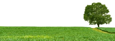 Panorama Pineapple farm , fruits field with Mango tree. On white background royalty free stock photo