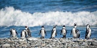 Panorama pingwiny z rzędu, Południowa Afryka Obrazy Royalty Free