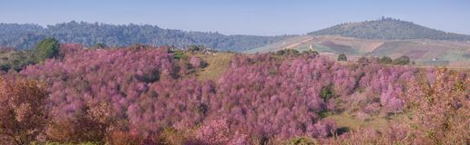 Panorama pink cherry blossom at Phu Lom Lo Royalty Free Stock Image