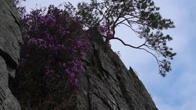 A panorama of a pink flowers and a tree on the edge of the cliff against the sky. A panorama of a pink flowers and a tree on the edge of the cliff against the stock video footage