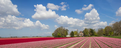 Panorama of pink and red tulips Stock Image