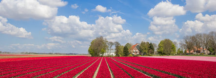 Panorama of pink and red tulips Royalty Free Stock Photography