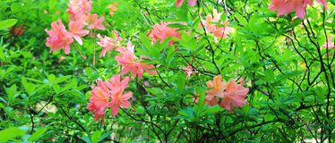 Panorama with pink rodendrons in the botanical garden in summer.  stock images