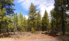 Panorama, pinos de ponderosa Imagen de archivo