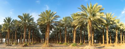 Panorama, plantation of date palms near Eilat. Image depicts advanced tropical agriculture in the Middle East Stock Photography