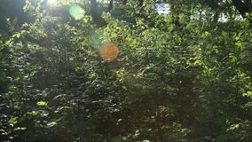 Panorama, play of sun through new fresh green leaves. Solar glare in the lens. Beautiful spring nature scene stock video footage