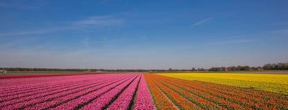 Panorama pole tulipany w menchiach, pomarańcze i kolorze żółtym, Obraz Stock