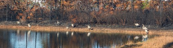 Panorama with a pond and nine great blue herons in a burnt fores Stock Images
