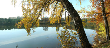 Panorama of the pond with reflection of autumn birches Royalty Free Stock Image