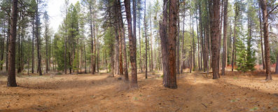Panorama, ponderosa pines, Royalty Free Stock Photos