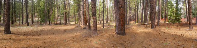 Panorama, ponderosa pines, Stock Photos