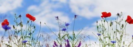 Panorama, Poppies, corn poppy, field flowers Stock Photos