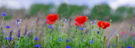 Panorama, Poppies, corn poppy, field flowers Royalty Free Stock Images