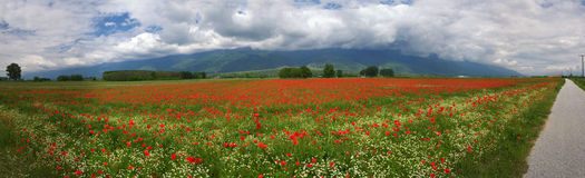 Panorama with Poppies during spring Stock Photos