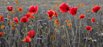 Panorama of poppies and wild flowers, selective color, red and b Stock Images