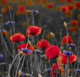 Panorama of poppies and wild flowers, selective color, red and b Royalty Free Stock Photography