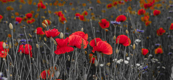 Panorama of poppies and wild flowers, selective color, red and b Royalty Free Stock Image