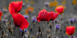 Panorama of poppies and wild flowers, selective color, red and b Stock Photography