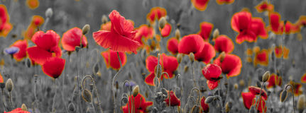 Panorama of poppies and wild flowers, selective color, red and b royalty free stock images