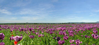 Panorama of Poppy Field Royalty Free Stock Photos