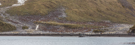 Panorama Prawego wieloryba zatoka i tysiące królewiątko pingwiny Zdjęcie Stock