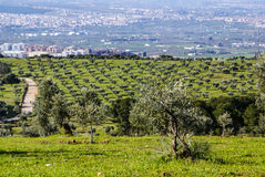 Panorama of the province of Granada, with olive trees. Andalusia Royalty Free Stock Photography