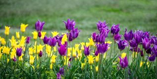 A panorama of purple and yellow tulips brighten up a spring garden. In Holland Michigan USA royalty free stock photos