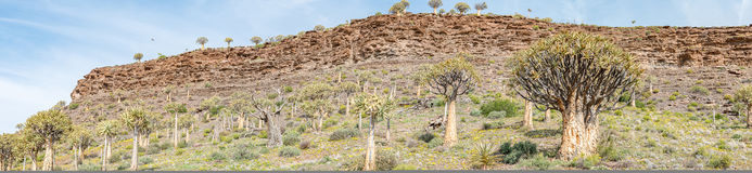 Panorama of the Quiver Tree Forest at Gannabos Stock Photos