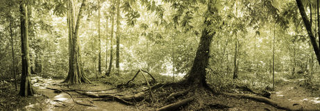 Panorama of rainforest Stock Image