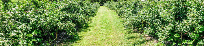 Panorama of rapberry farm Royalty Free Stock Images