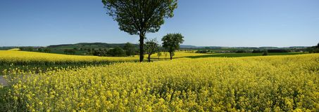 Panorama Rapeseed Stock Photography