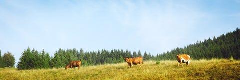Panorama, rebanho de vaca que pasta em um pasto montanhoso fotos de stock royalty free