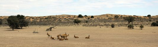 Panorama of a red dune and red hartebeest Stock Photography