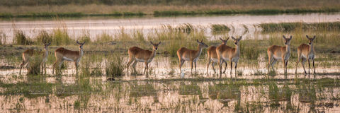 Panorama of red lechwe herd in wetlands Stock Image