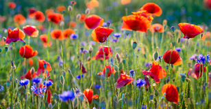 Panorama of red poppies royalty free stock image
