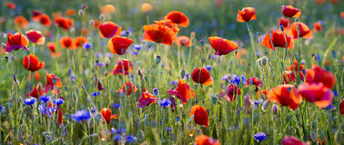Panorama of red poppies. Poland Stock Image