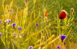 Panorama of red poppies,sunset over the May meadow Royalty Free Stock Image