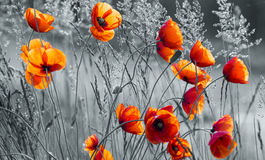 Panorama of red poppies,sunset over the May meadow Royalty Free Stock Photography