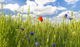 Panorama of red poppies,sunset over the May meadow Stock Images