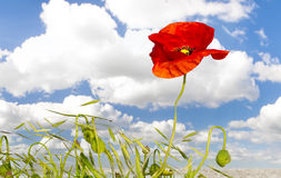 Panorama of red poppies,sunset over the May meadow Royalty Free Stock Photos