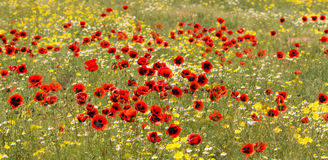 Panorama Red poppy flowers on the field with camomile Royalty Free Stock Photography