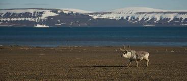 Panorama renifer i statek w Arktycznym Obraz Royalty Free
