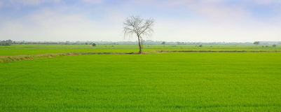 Panorama rice field with dry tree Royalty Free Stock Photography