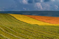 Panorama ripening wheat field Royalty Free Stock Photography