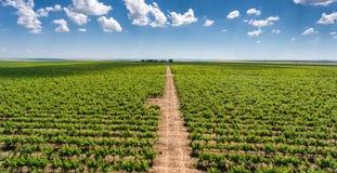 Panorama rosso della vigna con le file delle iarde dell'uva e del vino rosso Fotografia Stock