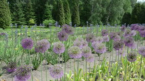 Panorama of round decorative garlic flower buds move in wind. stock footage