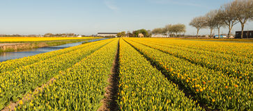 Panorama of rows of blooming tulips in various colors Royalty Free Stock Photos