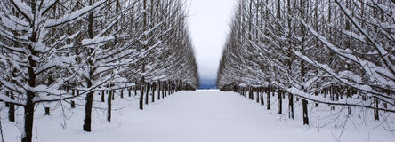 A panorama of rows of trees. A panormic image of rows of snow covered trees Royalty Free Stock Images
